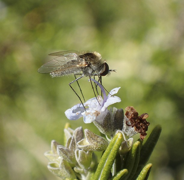 The geron fly does some pollinating. - ANTHONY WESTKAMPER