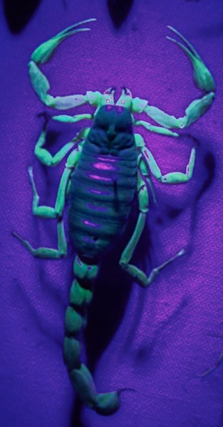 A scorpion with rave-ready florescence. - ANTHONY WESTKAMPER