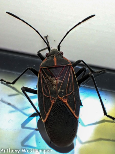 A mature box elder bug in all its glory. - ANTHONY WESTKAMPER