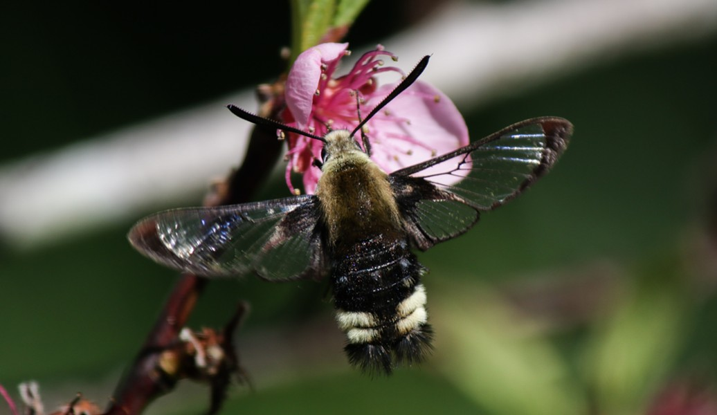 The bumble bee moth flutters to a peach blossom. - ANTHONY WESTKAMPER