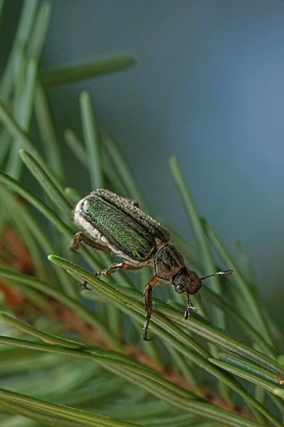 A fir-munching scarab beetle. - ANTHONY WESTKAMPER