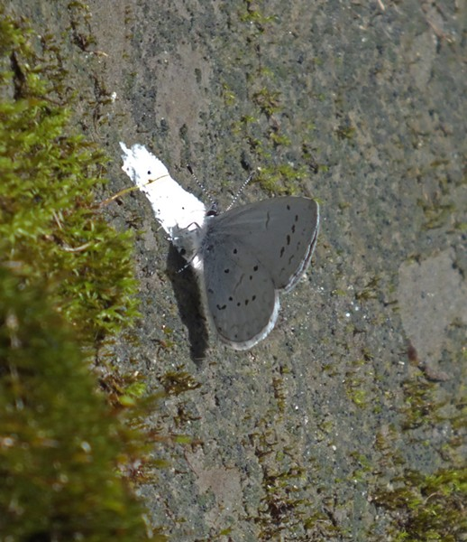 Echo Blue (Celastrina ladon echo) on bird poop. (Do you really want it to land on your finger now?) - ANTHONY WESTKAMPER