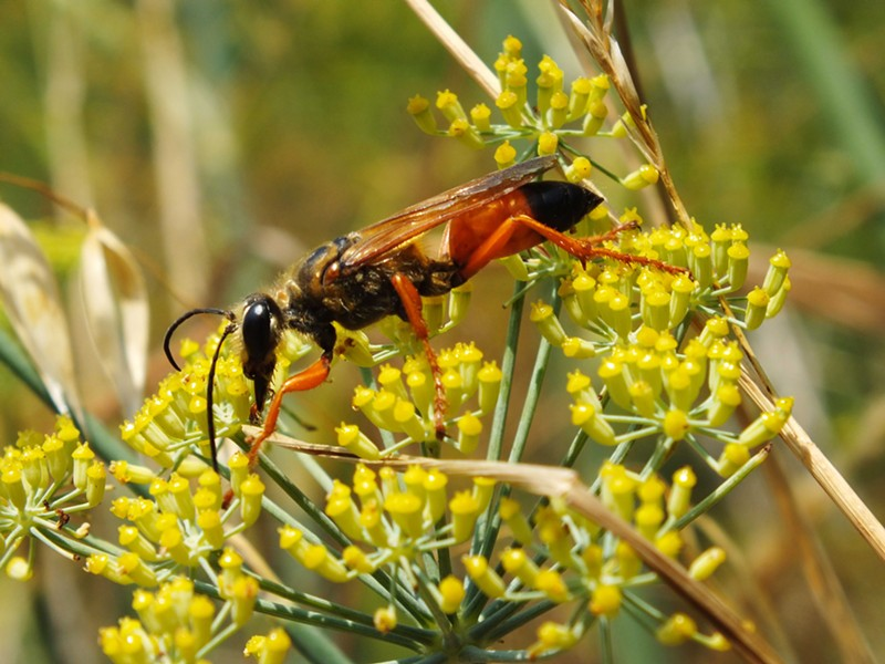 A Great Golden Sand Digger wasp on Wild Anise. - ANTHONY WESTKAMPER