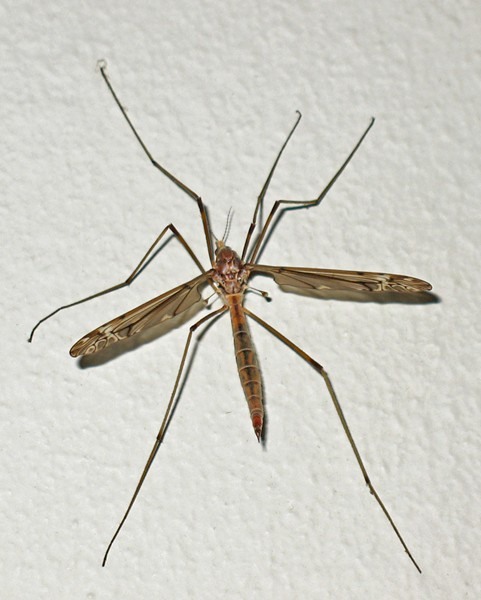 The lanky crane fly. - ANTHONY WESTKAMPER