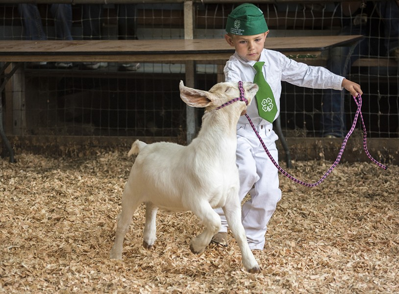 Justin Noga, of Arcata and the Arcata Bottoms 4-H Club, led his Boer goat, Thrasher, in the entry-level age group in the showmanship competition. - MARK LARSON