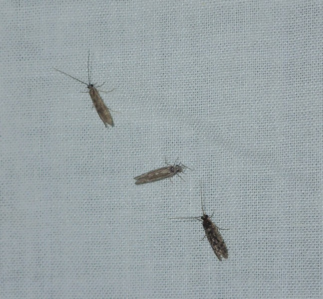 A trio of caddisflies, all grown up. - ANTHONY WESTKAMPER