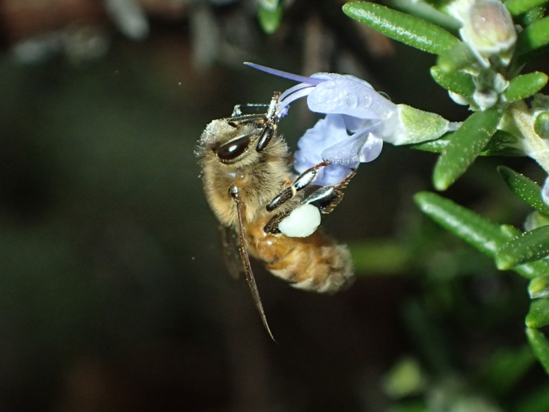Honeybee with corbicula on its hind legs half full of pollen. Note pollen grains on bee's head as well. - ANTHONY WESTKAMPER