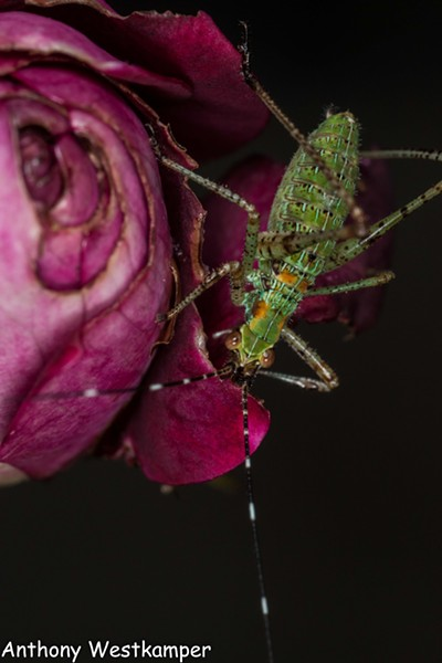 An immature katydid (about  3/4 inch long) eating one of my roses. - ANTHONY WESTKAMPER