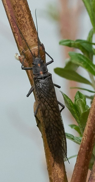 California giant stonefly, about 70 millimeters. - ANTHONY WESTAMPER
