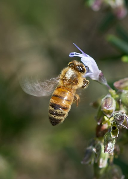 Honeybee showing marking on thorax. - ANTHONY WESTKAMPER
