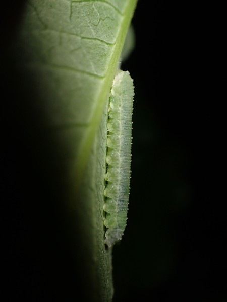 Sawfly larvae on underside of leaf. - ANTHONY WESTKAMPER
