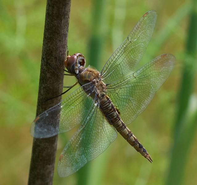 Spot winged glider pantala hymenaea — a new one for me. - ANTHONY WESTKAMPER