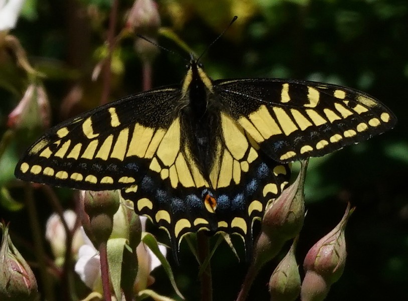 An adult anise swallowtail. - ANTHONY WESTKAMPER