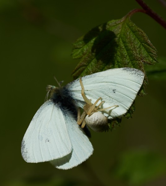 Female crab spider with a cabbage butterfly. - ANTHONY WESTKAMPER