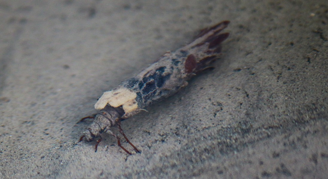 Caddisfly larva with shelter made of redwood needles.