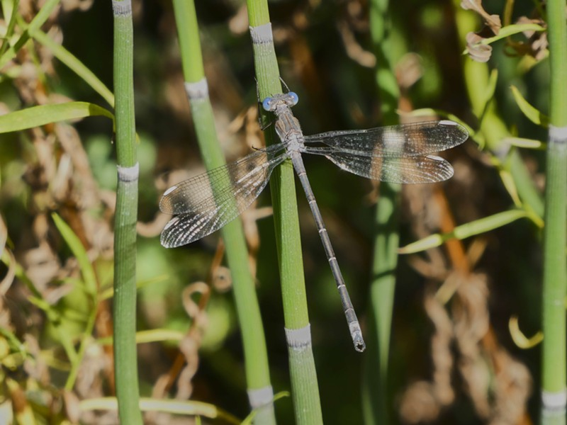 A delicate California spreadwing. - PHOTO BY ANTHONY WESTKAMPER