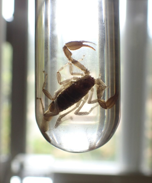 Scorpion in acetone to remove fats from body. - ANTHONY WESTKAMPER