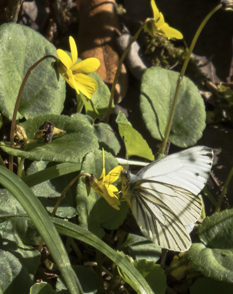 Margined white on redwood violet (Viola sempervirens). - PHOTO BY ANTHONY WESTKAMPER