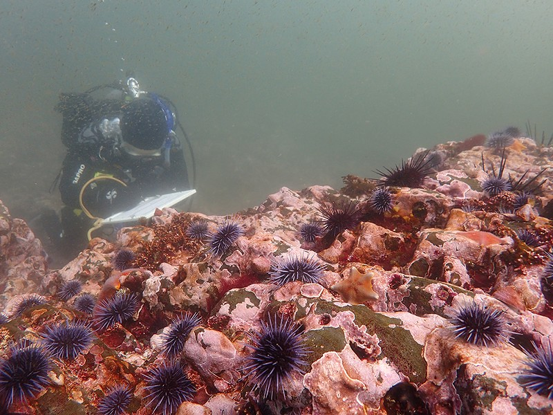 Urchins blanket a rocky reef. - CYNTHIA CATTON/CALIFORNIA DEPARTMENT OF FISH AND WILDLIFE