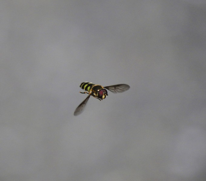 Hover flies may be the ultimate in aerial agility. - PHOTO BY ANTHONY WESTKAMPER