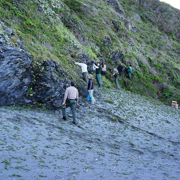 Volunteers and Redwood National and State Parks representatives replant the stolen succulents. - CALIFORNIA STATE PARKS