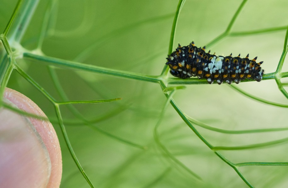 Anise swallowtail larva camouflaged as bird poop. - PHOTO BY ANTHONY WESTKAMPER