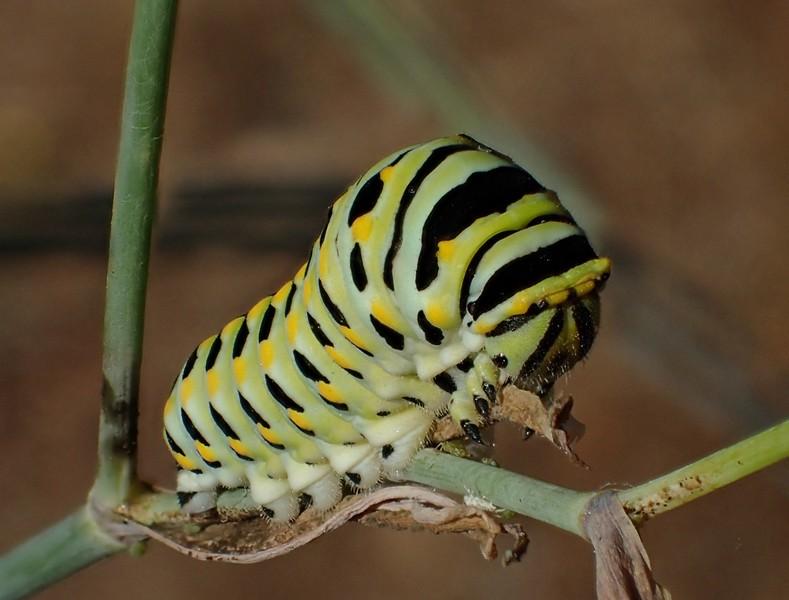 Full sized anise swallowtail larva. - PHOTO BY ANTHONY WESTKAMPER