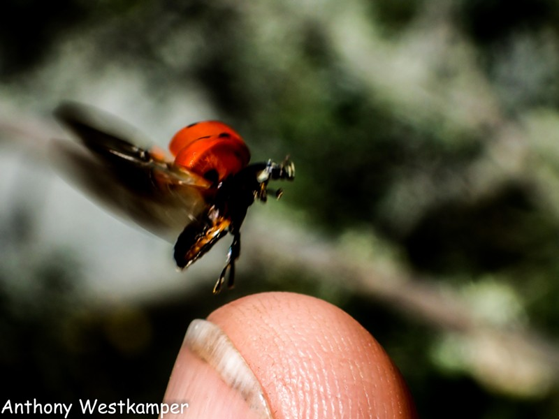 Adult ladybug taking off from fingertip. - PHOTO BY ANTHONY WESTKAMPER