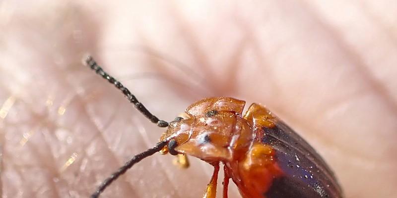 Handsome fungus beetle.