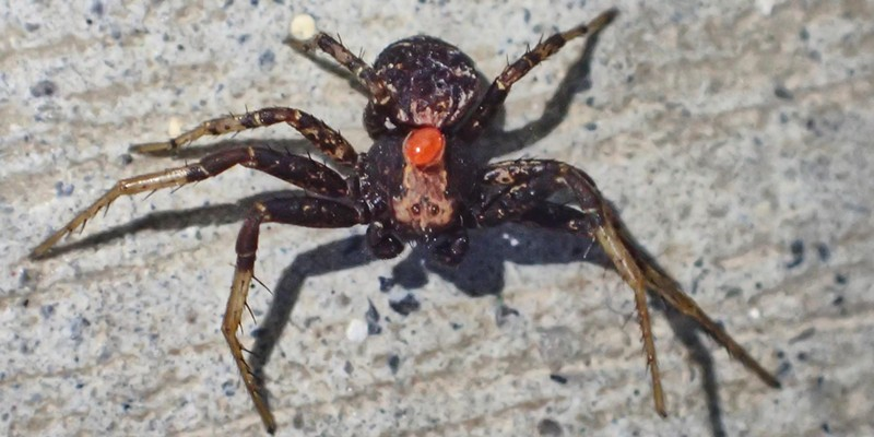 Even dedicated predators like this running spider have parasites like the red mite between its eyes.