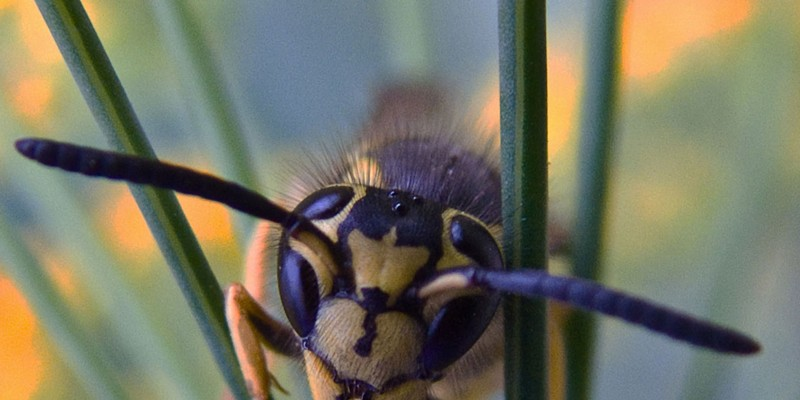 This yellow jacket didn't seem to mind getting right down into her face.
