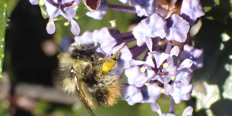 Considerably smaller than a honeybee tiny bumblebees service ceanothus in Humboldt Hill.