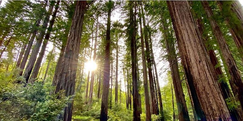 Majestic redwoods.