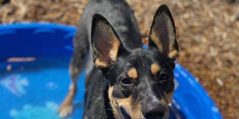 HCSO: Online Dog Licensing Now Available