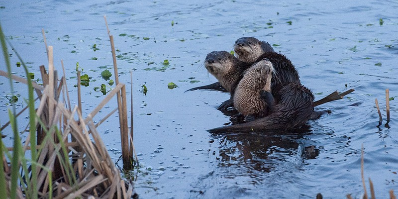 If you see otters, like these on a log at the Humboldt Bay National Wildlife Refuge, let HSU's River Otter Citizen Science Project know.