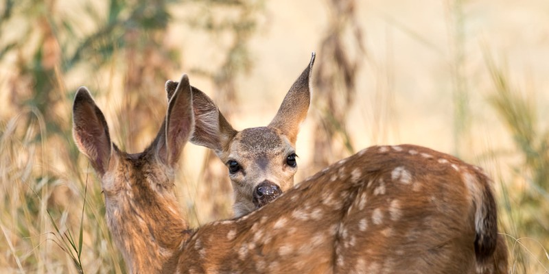 Don't take the fawns.