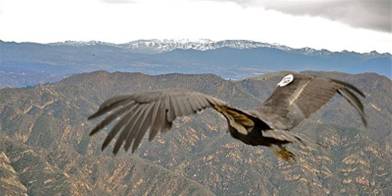 Condo of Condors Making Themselves at Home, Causing Quite a Scene