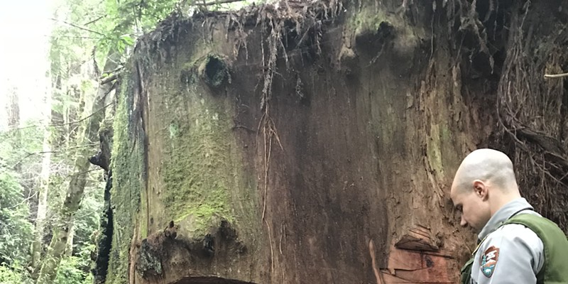 A ranger measuring the damage to the redwood trunk in the case.