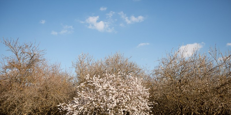 Almond trees begin to blossom in Shafter on Feb 16, 2021. Almonds come from the pits of drupes which is the fruit grown from almond trees. They are in the same classification as peach trees.