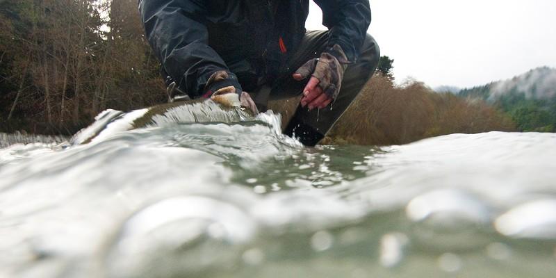 Steelhead Days John Boak releasing a wild steelhead on the Mad River. Sean Jansen