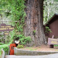 The Living Chimney Tree