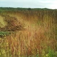 The quinoa field Blake Richard farms in Loleta.