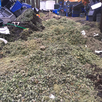 Marijuana bud mounded over a trench which was created by law enforcement to bury and destroy the seized product.