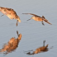 Marbled godwit navigate fishing areas near Klopp Lake at the Arcata Marsh and Wildlife Sanctuary.
