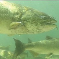 A spring run Chinook in the Salmon River.