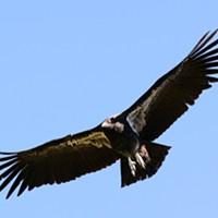 A wild-hatched condor.