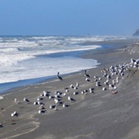 Birds awaiting the next wave of surf smelt.