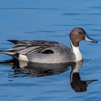 """The northern pintail is """"considered by many to be the most elegant of all our ducks"""" (Burton and Anderson)."""