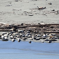Harbor seals hauled out near wood.