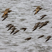 Godwits at the Arcata Marsh.